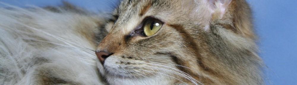 Niveas Norwegische Waldkatzen